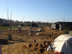 Poultry at Chruch Farm Ardeley