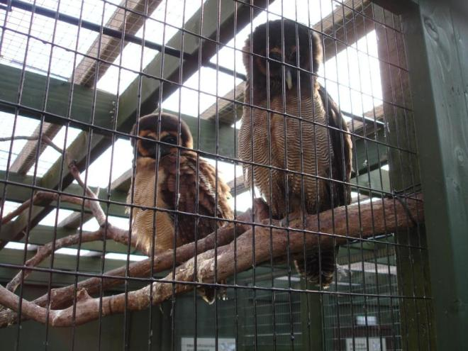 Tropical owls at the Scottish Owl Centre