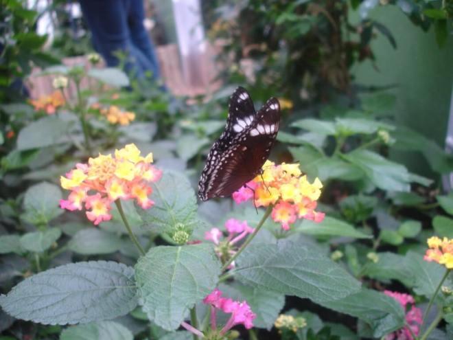 Black and white butterflyat Sensational Butterflies NHM
