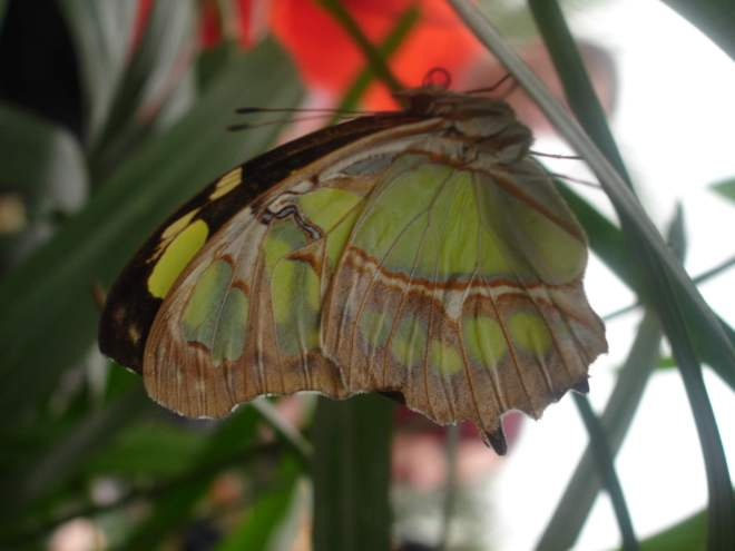 Green butterfly at Sensational Butterflies NHM