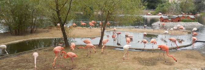 Flamingos at Moscow Zoo