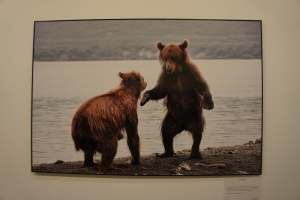Bears at Undisturbed Russia
