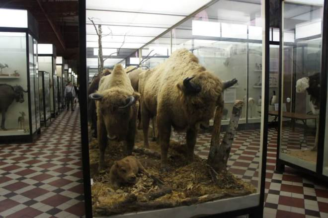 Bison Zoological Museum Moscow