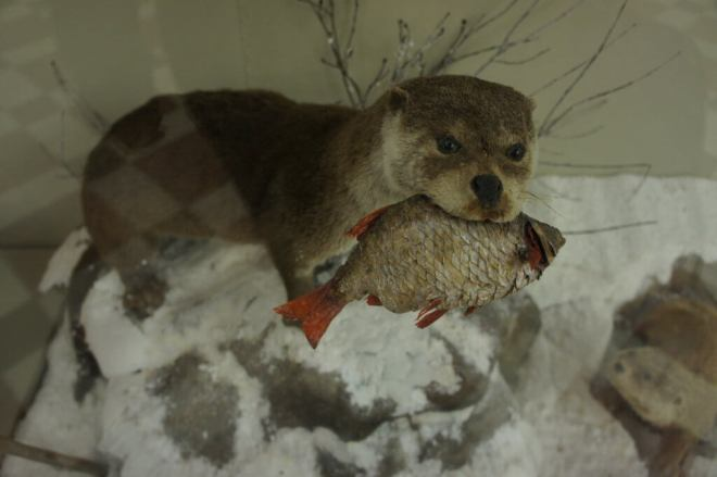 Otter with a fish Zoological Museum Moscow