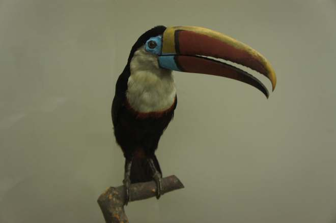 Toucan at the Moscow Zoological Museum