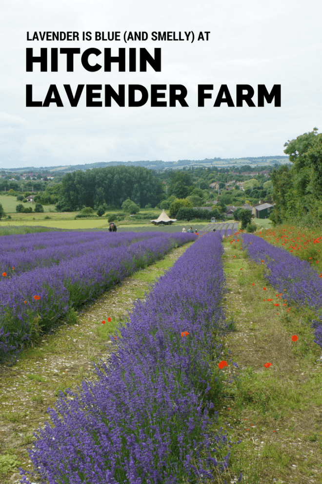 A family day out at the Hitchin Lavender Farm in Hertfordshire is fragrant, colourful and has lavender flavoured shortbread.