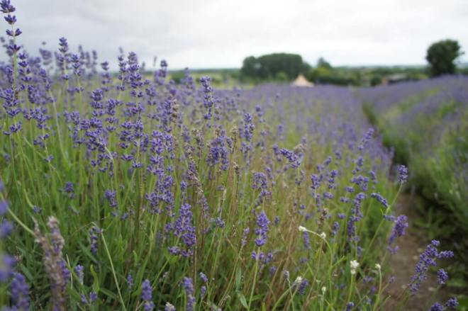 Lavender at Hitchin Lavender Farm