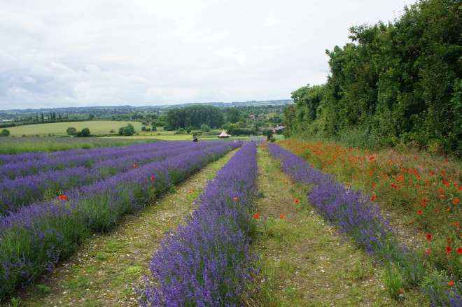 Lavender rows at Hitchin Lavender Farm Hertfordshire