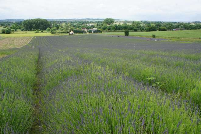 The smelly lavender Hitchin Lavender Farm Hertfordshire