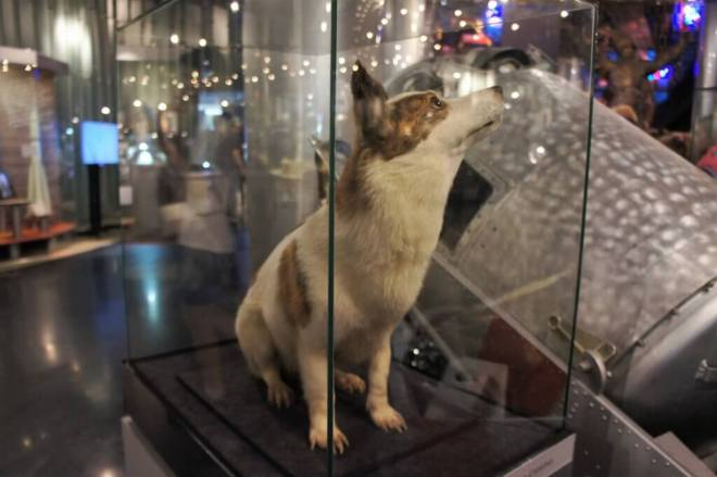 Belka at the Cosmonautics Museum Moscow