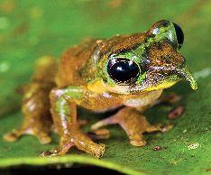 pinocchio frog image
