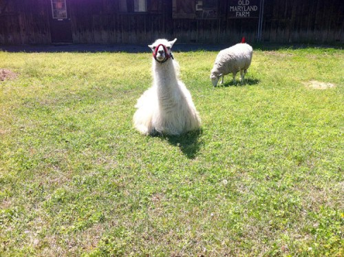 See llamas at Old Maryland Farm when you visit Watkins Regional Park
