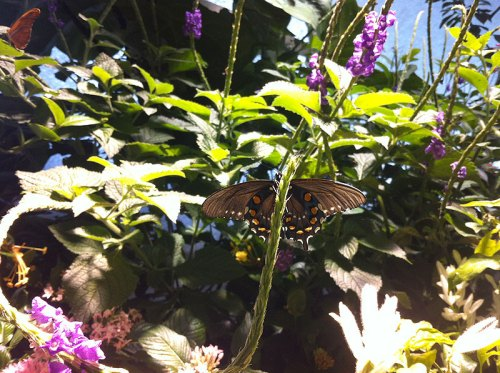 The Natural History Museum's Butterfly Pavilion - admission is FREE on Tuesdays!