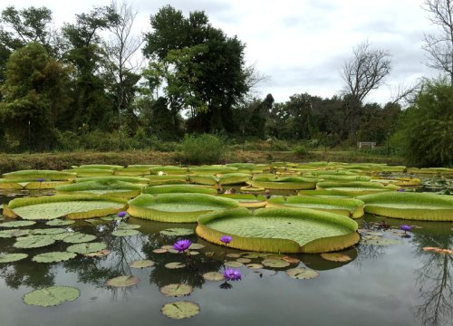 A lily pad filled pond at Kenilworth Aquatic Gardens