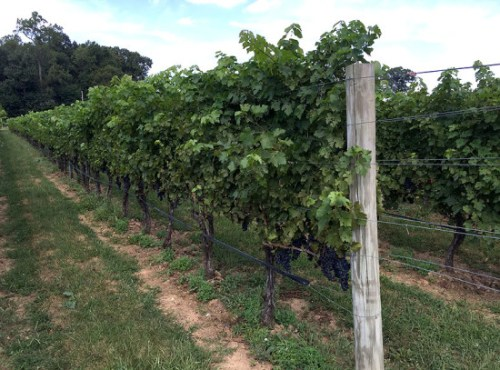 sugarloaf_vines
