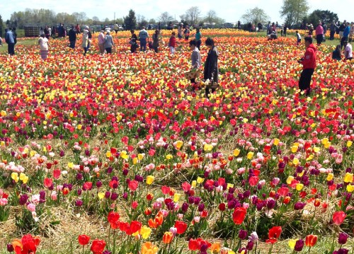 Tulips abloom at Burnside Farm