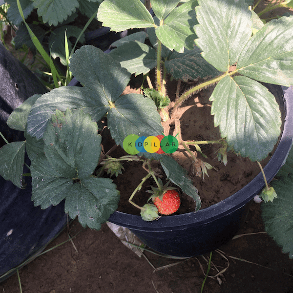 Fruits to grow with kids