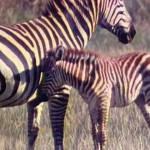 Живая энциклопедия – Африканские слоны, обезьяны, зебры