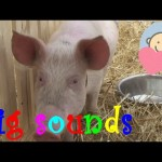 🎧 Funny Pig sounds effect noises | Pig grunting by feeding | Animal sounds for children to learn
