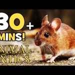 Animal Antics – Mice at the Moorland Cottage | the Harvest Mice | 30+ mins of Animals for Kids