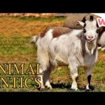 Animal Antics – Goats & Sheep   Full Episodes   Wizz   TV Shows for Kids