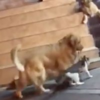 Golden Retriever acaba com briga entre gatos de forma radical
