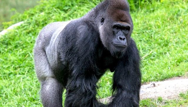 western gorilla