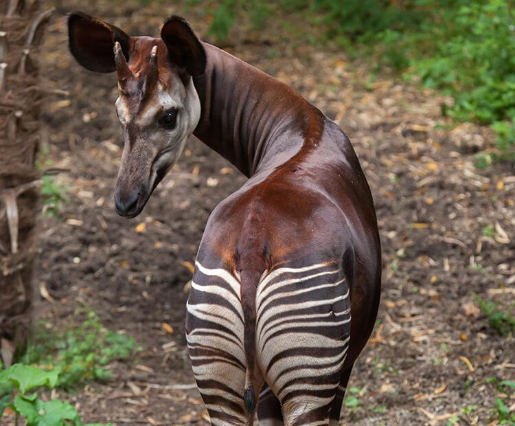 Image result for okapi