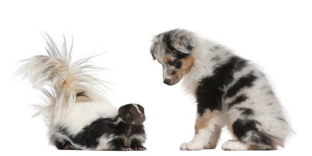 Skunk vs. Dog - Remove Skunk House Smells