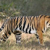 Bengal Tiger Facts for Kids - Fun Facts and Information