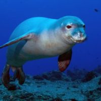 Hawaiian Monk Seal Facts for Kids