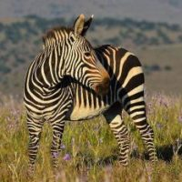 Mountain Zebra Facts for Kids