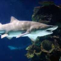 Sand Tiger Shark Facts for Kids