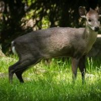 Tufted Deer Facts for Kids
