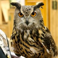 Eurasian Eagle Owl Facts for Kids