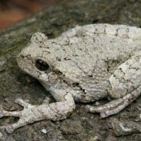 Gray Tree Frog Facts for Kids