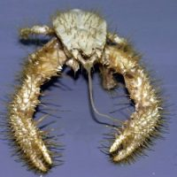 Yeti Crab Facts for Kids