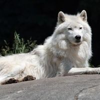 Arctic Wolf Facts for Kids - Arctic Wolf Interesting Facts
