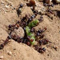 Fire Ants Facts for Kids