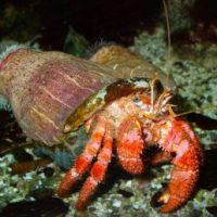 Hermit Crab Facts for Kids
