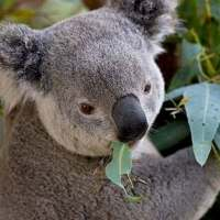 Koala Bear Facts for Kids