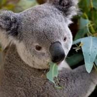 Koala Bear Facts for Kids