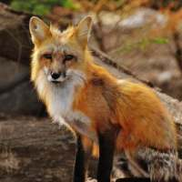 Red Fox Facts for Kids - Red Fox Fun Facts