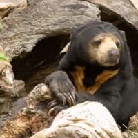 Sun Bear Facts for Kids