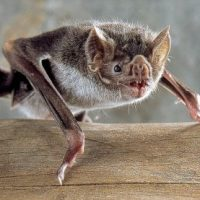Vampire Bat Facts for Kids - Vampire Bat Facts and Information