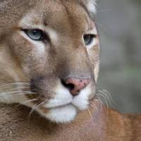 Mountain Lion Facts for Kids - Interesting Facts about Mountain Lion