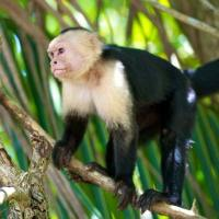 Capuchin Monkey Facts for Kids - Capuchin Monkey Fun Facts