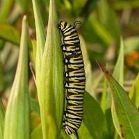 Caterpillar Facts for Kids - Interesting Information about Caterpillars