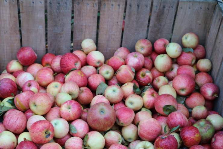 Apple Orchard apples in crate - Kids Are A Trip