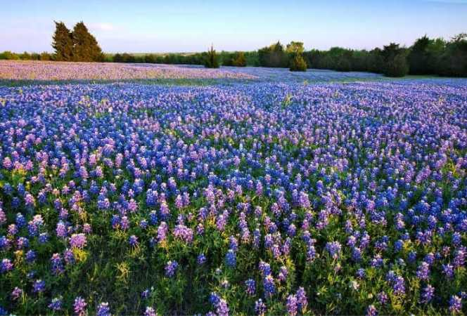 Field of bluebonnets Texas-Kids Are A Trip